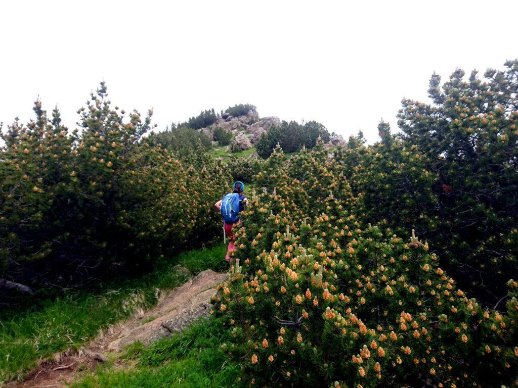 la cresta del Monte Nero è completamente ricoperta di bellissimi pini mughi