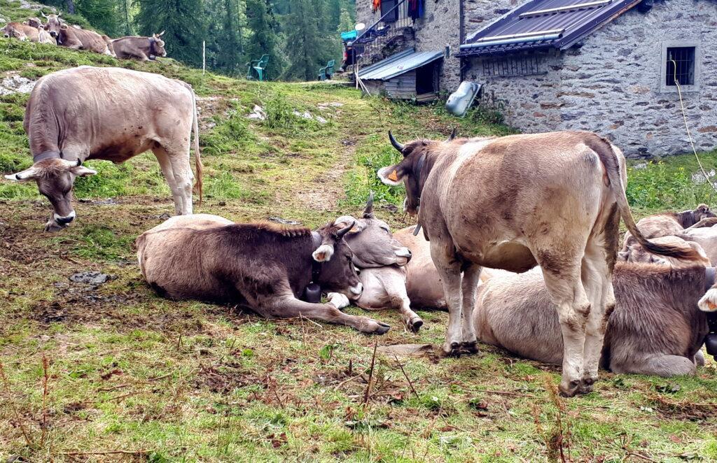 Mucche pigrissime si rotolano e si strusciano riposando sui prati