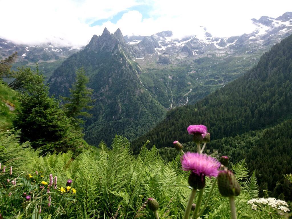 Cardi in fioritura con punta Fiorelli e punta Medaccio sullo sfondo