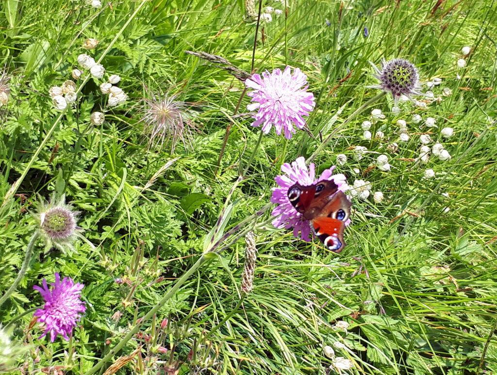 Farfalla coloratissima si lascia fotografare lungo la discesa verso passo Sadole