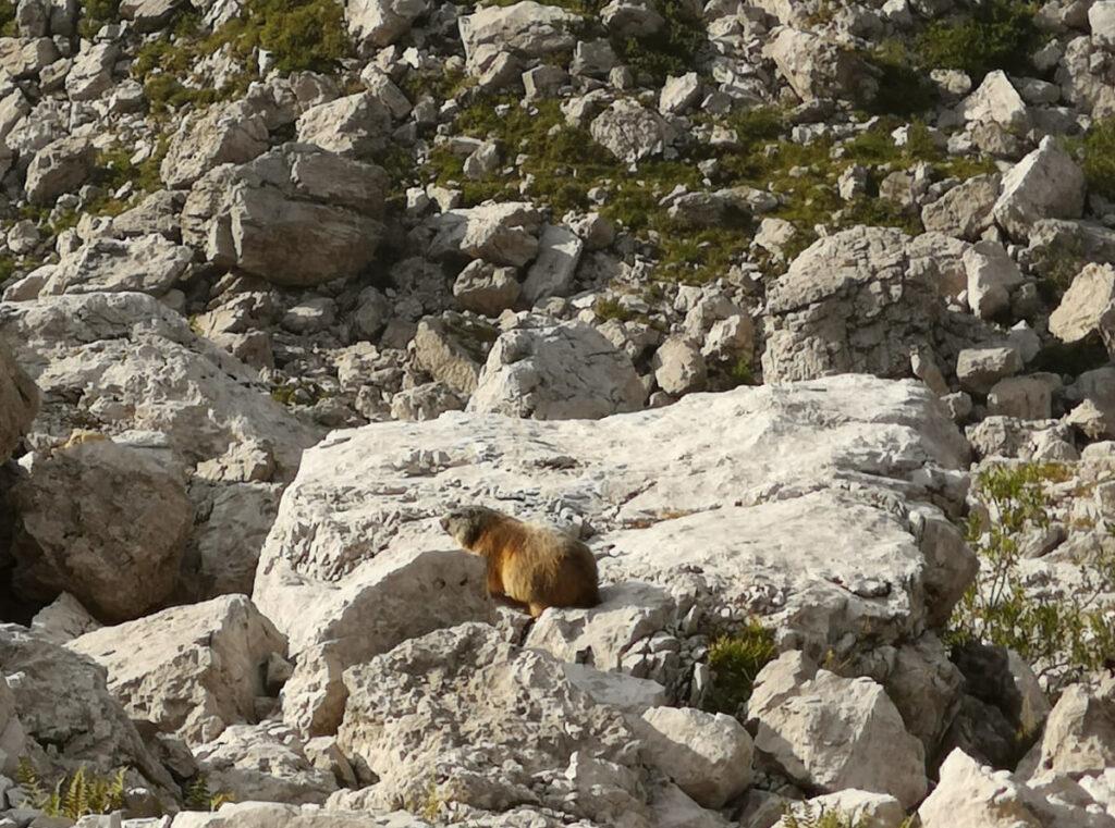 Marmotta cicciona prende il sole incurante del nostro passaggio