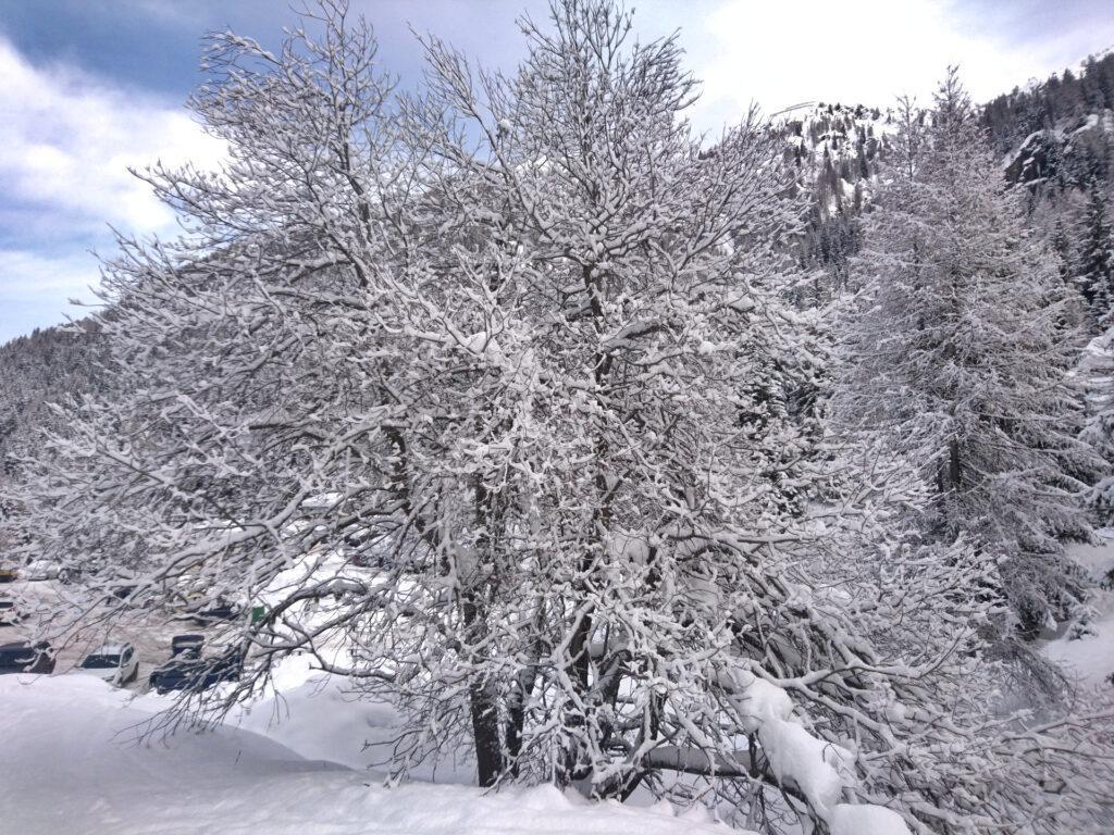 Ieri notte ha fatto 10-15 cm e gli alberi sono uno spettacolo già al parcheggio di Pescegallo