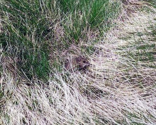 Un topino di montagna cerca di nascondersi al nostro arrivo ma è preso un po' alla sprovvista