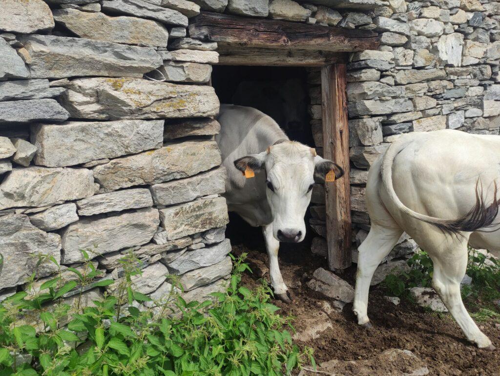 altra alpe, altre mucche: tutte fuori dalla stalla per vedere i due bipedi intrusi!