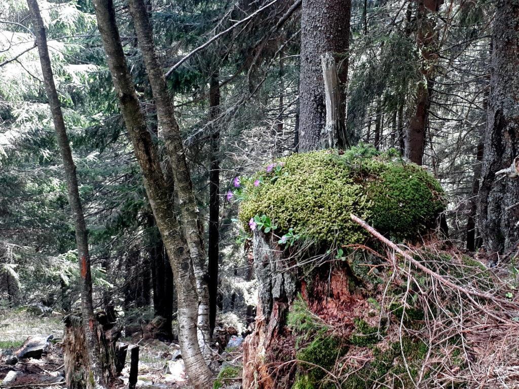 il sentiero sale dritto per dritto, in un bosco bellissimo e pieno di vita