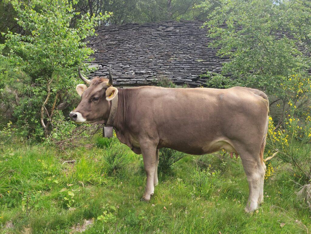 eccoci ai primi alpeggi, dove le mucche pascolano in libertà facendo nascondino nel bosco
