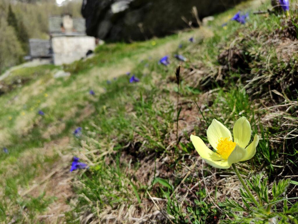 fioriture all'alpe Solcio