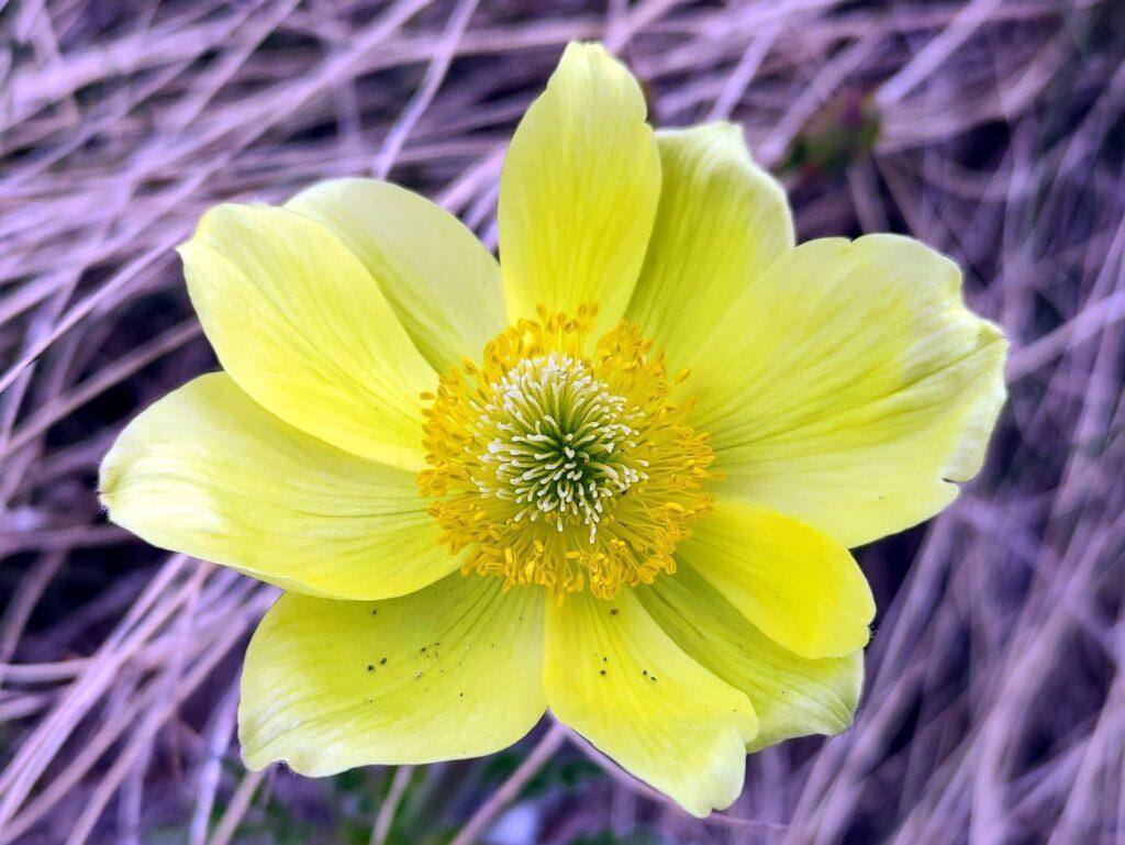 Macro di un anemone