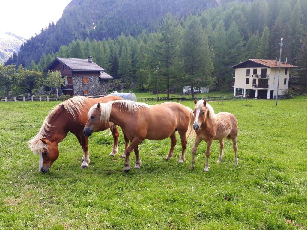 I cavalli del Rifugio Novara all'Alpe Cheggio dove ci siamo fermati a mangiare un boccone dopo la gita