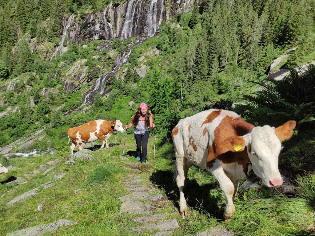 anche le mucche salgono... ai pascoli alti