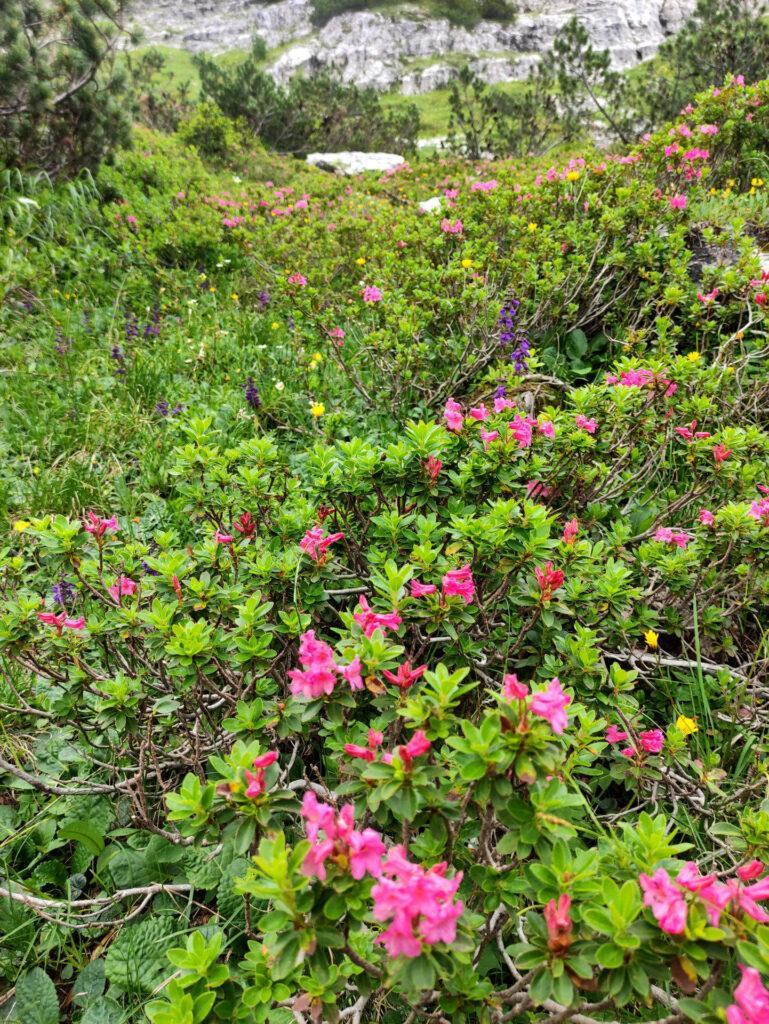 Siamo in piena fioritura dei rododendri lungo il sentiero per il Brentei!