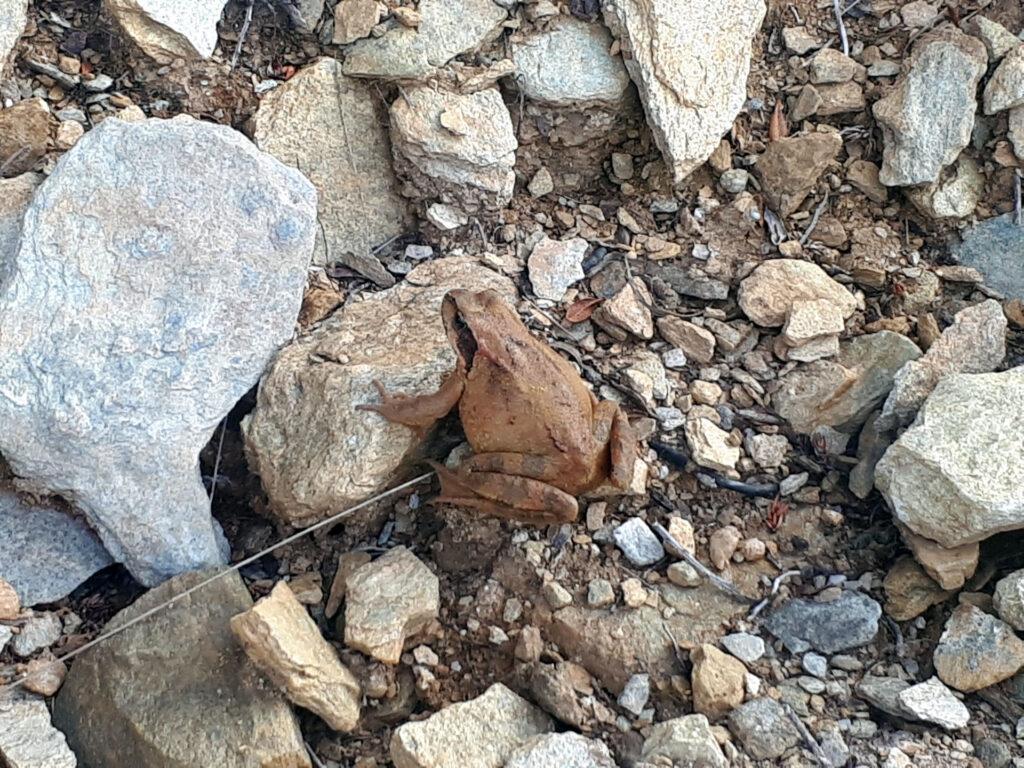un rospo marrone incontrato lungo il sentiero