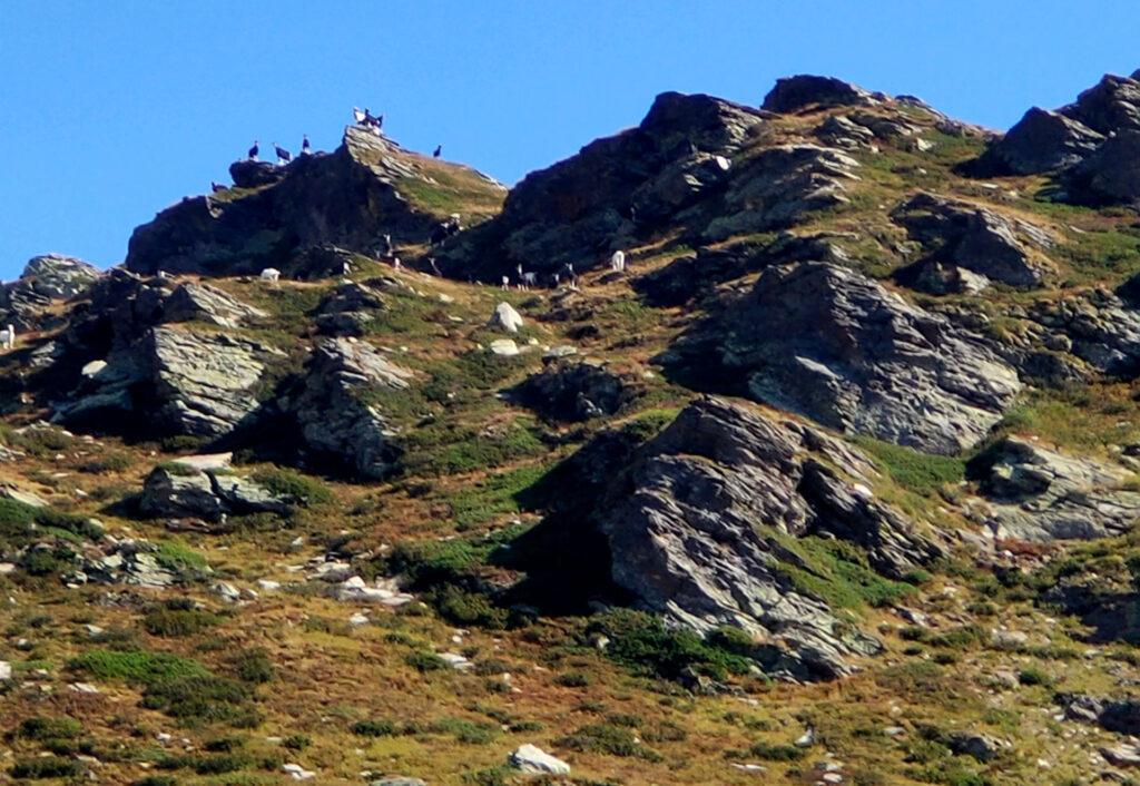 giunti in alta val di Sterla, veniamo avvistati da un numeroso branco di capre che ci puntano da lontano. Per fortuna stavolta non ci seguiranno ;)